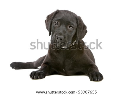 black labrador retriever puppy isolated on white - stock photo