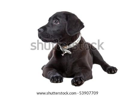 black labrador retriever puppy isolated on white - stock photo