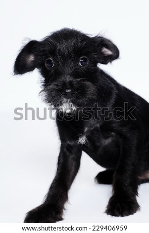 black Labrador Retriever puppy isolated over white background - stock photo