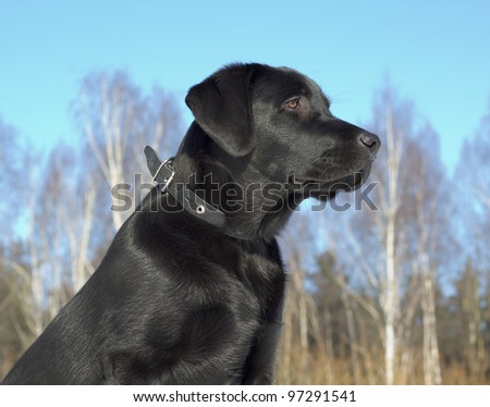 Black Labrador Retriever puppy 6 months old - stock photo