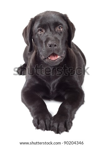 black labrador retriever puppy 3 months old isolated on white background - stock photo