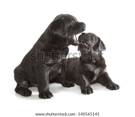 Black Labrador Retriever Puppy (4 week old, isolated on white background) - stock photo