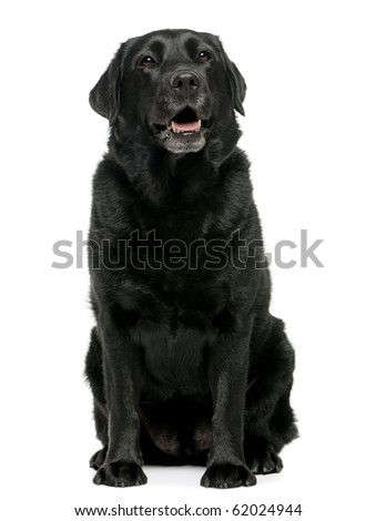 Black Labrador retriever 4 years old, sitting in front of white background - stock photo