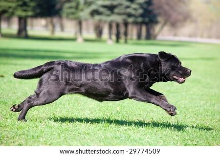 Black labrador running in the park - stock photo