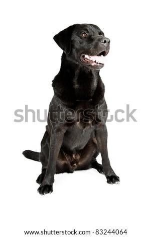 Black labrador sitting isolated on white background - stock photo