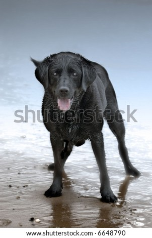 Black labrador standing on a wet beach with reflection in water in anticipation of something. Moody cool color scheme - stock photo