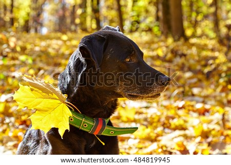 Black labrador walking in autumn park. For his collar attached maple leaf.