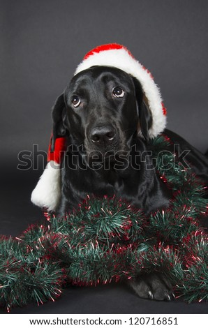 Black labrador with a funny look (wearing a Santa hat) - stock photo