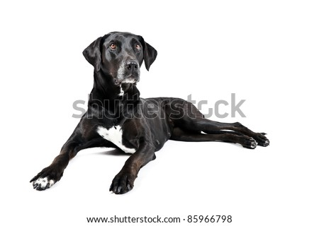 Black labrador with white spot on chest lying down isolated on white background - stock photo