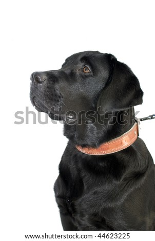 Black labrador. young, cute, curious, interested  dog.