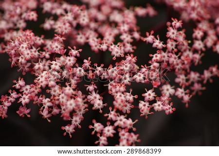 Black Lace Elderberry - stock photo