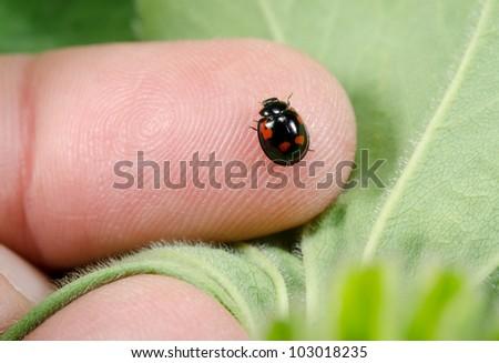 black ladybug, red dots, sitting on finger - stock photo