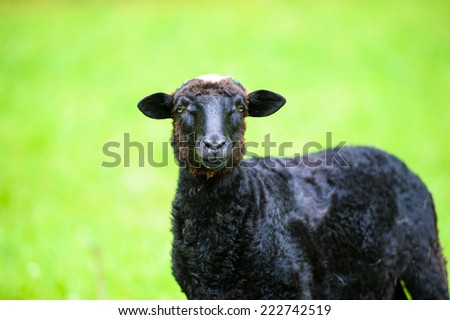 black lamb - stock photo
