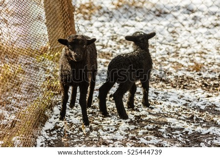 Black lamb in the snow