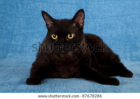 Black LaPerm cat lying down on blue background