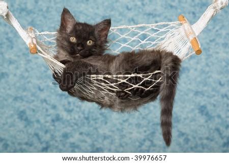 Black LaPerm kitten in mini hammock - stock photo