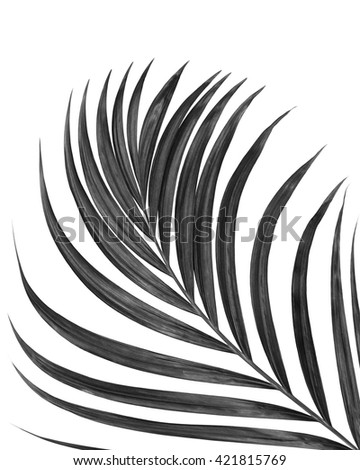black leaf of palm tree isolated on white background