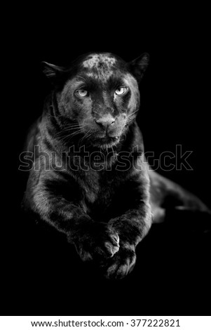 Black leopard on dark background. Black and white image - stock photo
