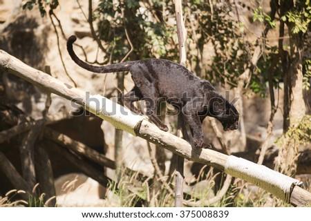 Black Leopard on the tree - stock photo
