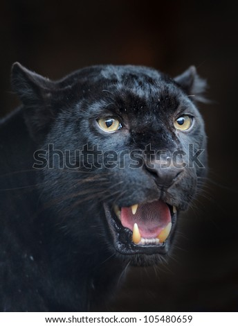 Black leopard taking a rest - stock photo