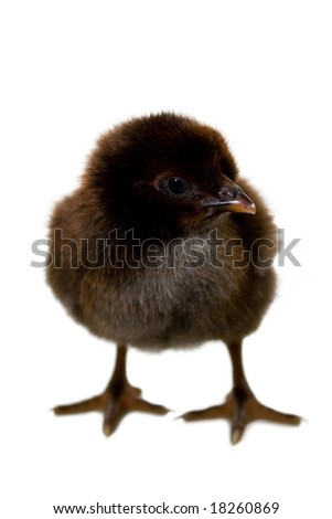 Black little chicken a over white background