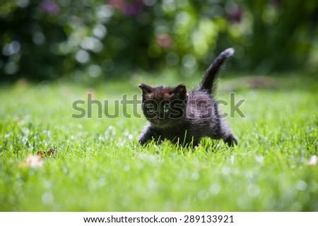 Black little kitten running through a green lawn - stock photo