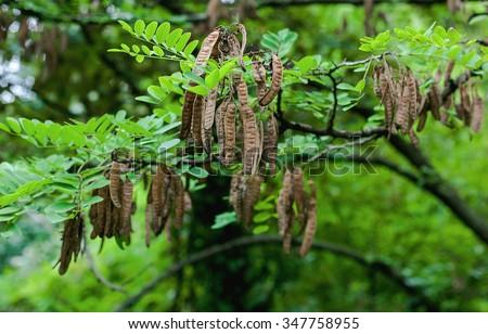 Black Locust Seed Pods Stock Photo 347758955 - Shutterstock