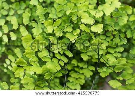 Black Maidenhair Fern plants cover the ground of the natural forest. - stock photo