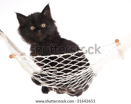 Black Maine Coon kitten in miniature white hammock, on white background - stock photo