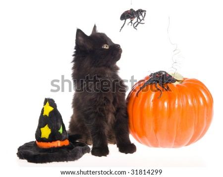 Black Maine Coon kitten looking at spider with pumpkin, witch Halloween hat, on white background - stock photo