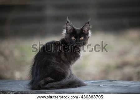 Black maine coon kitten sitting outdoor - stock photo