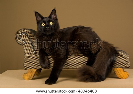 Black Maine Coon on miniature chaise couch on bronze background - stock photo