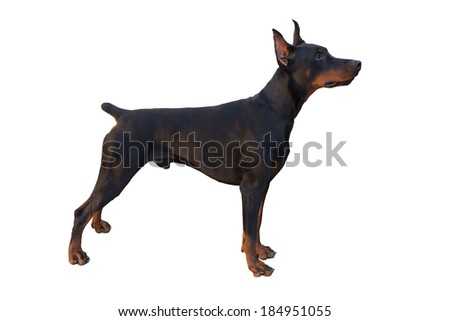 Black Male Doberman Pinscher Standing Stacked, White Background isolated - stock photo