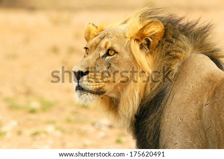 Black-maned lion in desert portrait, Kalahari, South Africa