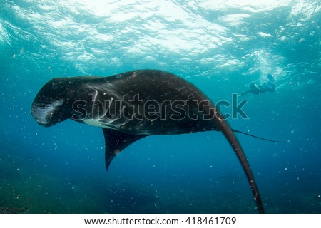 Black Manta ray at the cleaning station with a silhouette of a snorkeler behind. Indonesia, Nusa Penida.