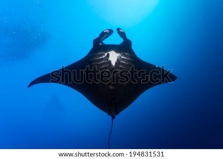 Black manta ray in komodo - stock photo