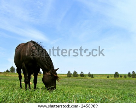 Black mare grazing in a summer pasture - stock photo
