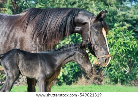 black Marwari dam with her foal