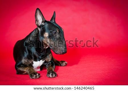 black miniature bull terrier - stock photo