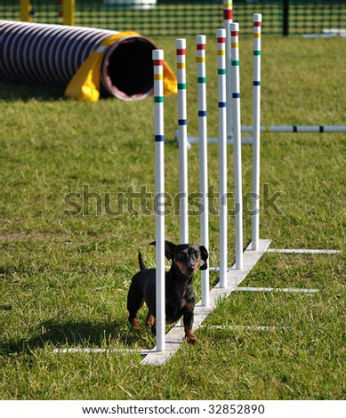 Black miniature dachshund weaving through weave poles at dog agility trial, copy space,vertical