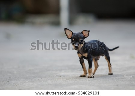 Black Miniature Pinscher standing on the road