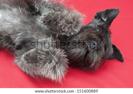 black miniature schnauzer in red background