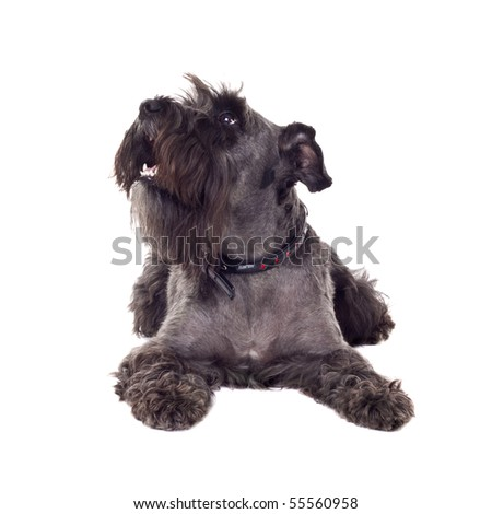 black miniature schnazuer laying on the white back ground - stock photo