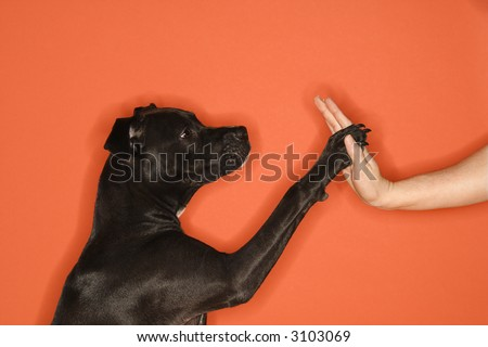 Black mixed breed dog giving female young adult Caucasian a high five. - stock photo