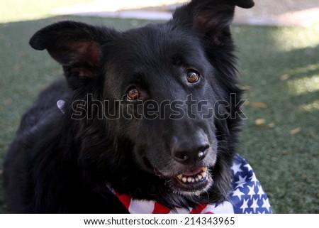 Black mixed breed dog resting at a rescue dog parade - stock photo