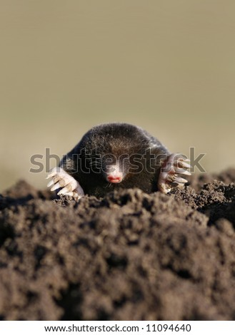 black mole in molehill, intruder or pest - stock photo