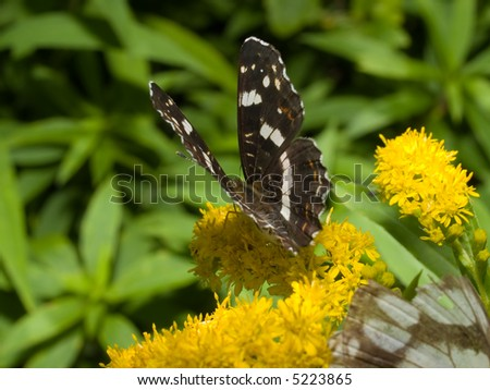 black monarch butterfly on the flower - stock photo