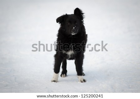 Black mongrel on the snow