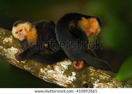 Black monkey sitting on the tree branch in the dark tropic forest. Monkey White-headed Capuchin, Cebus capucinus. Monkey in the nature habitat. Animal wildlife of Panama - stock photo