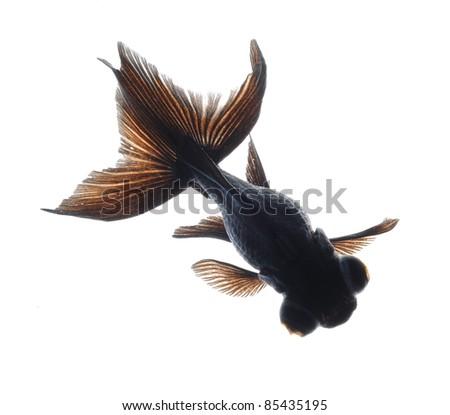 black moor goldfish isolated on white background - stock photo